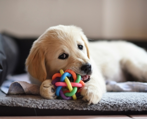 Golden Retriever puppy chewing on a colorful dog toy