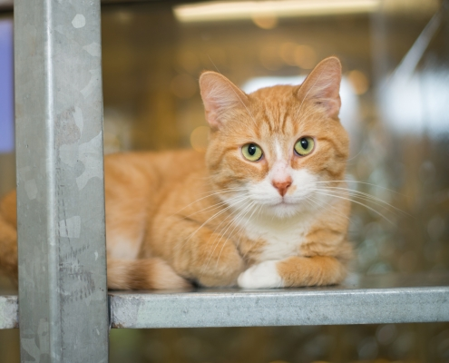 Orange furred cat in rescue shelter